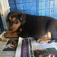 Adopt A Pet :: Cici - Covington, TN