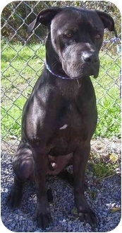 American Staffordshire Terrier/Boxer Mix Dog for adoption in Howes Cave, New York - Diego