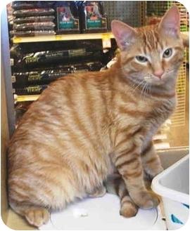 Domestic Shorthair Kitten for adoption in Colmar, Pennsylvania - Doug