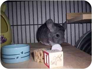 Chinchilla for adoption in Avondale, Louisiana - Pierson