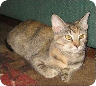Domestic Shorthair Cat for adoption in Acme, Pennsylvania - Jenesa