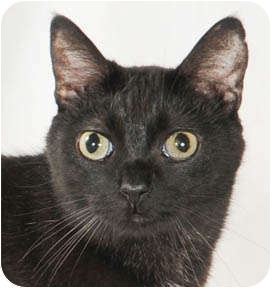 Domestic Shorthair Cat for adoption in Chicago, Illinois - Zoom