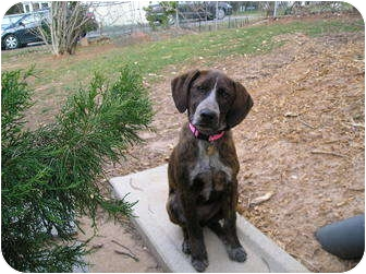 Bluetick Coonhound/Hound (Unknown Type) Mix Puppy for adoption in Fulton, Maryland - Bre