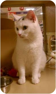 Domestic Shorthair Cat for adoption in Worcester, Massachusetts - Bradley