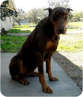 Doberman Pinscher Dog for adoption in Harper, Texas - Sarge