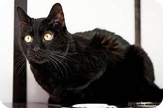 Domestic Shorthair Cat for adoption in Portland, Oregon - Romeo