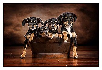 Dachshund/Miniature Pinscher Mix Puppy for adoption in Owensboro, Kentucky - Puppies!!