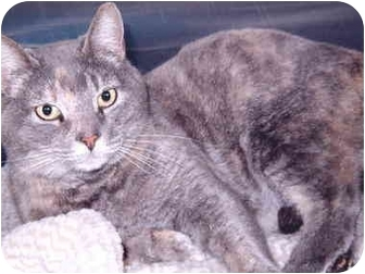 Domestic Shorthair Cat for adoption in Grass Valley, California - Chicklet