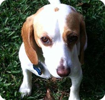 Beagle Dog for adoption in Houston, Texas - Sally