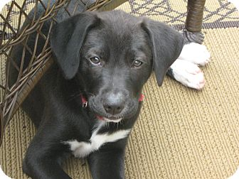 Feist/Labrador Retriever Mix Puppy for adoption in Hartford, Connecticut - April