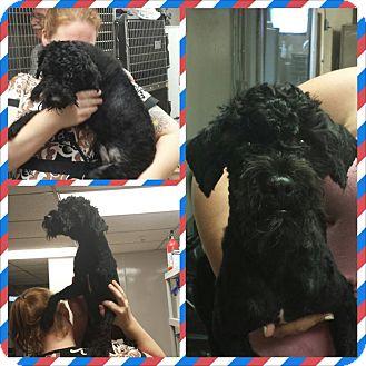 Poodle (Miniature)/Schnauzer (Miniature) Mix Dog for adoption in bridgeport, Connecticut - Jeffrey