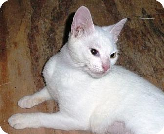 Oriental Cat for adoption in Turnersville, New Jersey - Pearl