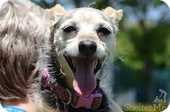 Parson Russell Terrier Dog for adoption in Sherman Oaks, California - Baby