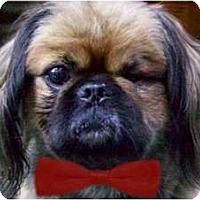 Adopt A Pet :: Boo Boo Bear-NY - Mays Landing, NJ