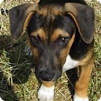 Adopt A Pet :: Baxter-Low Adoption $150 - Bel Air, MD