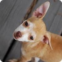 Adopt A Pet :: Blossom - New Milford, CT