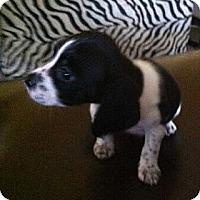 Adopt A Pet :: Bambi - Encinitas, CA