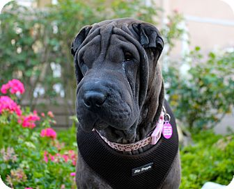 Shar Pei Dog for adoption in Los Angeles, California - Nessie