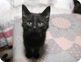 Domestic Shorthair Kitten for adoption in Ashland, Ohio - Zorro