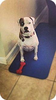 American Bulldog Mix Dog for adoption in Hollywood, Florida - MIA