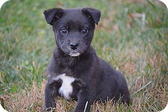 Australian Kelpie Mix Puppy for adoption in Spring City, Pennsylvania - Dopey