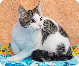 Domestic Shorthair Cat for adoption in Elmwood Park, New Jersey - Benny