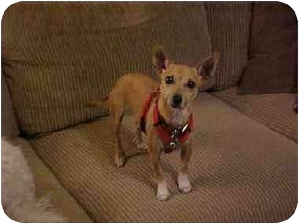 Chihuahua Mix Dog for adoption in Carrollton, Texas - Nala