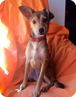 Terrier (Unknown Type, Small) Mix Puppy for adoption in Corona, California - ANNIE