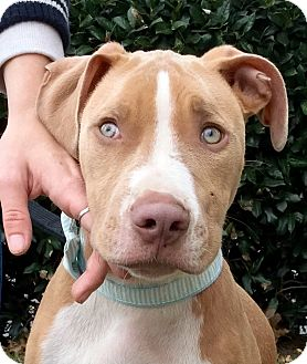 Pit Bull Terrier/Hound (Unknown Type) Mix Puppy for adoption in Virginia Beach, Virginia - River