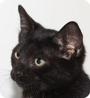 Domestic Shorthair Kitten for adoption in Staunton, Virginia - Jasper