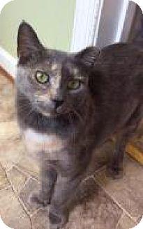 Domestic Shorthair Cat for adoption in Breinigsville, Pennsylvania - Parker
