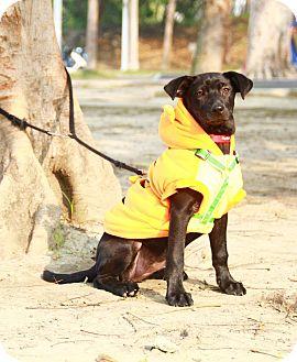 Labrador Retriever Mix Puppy for adoption in Castro Valley, California - Nicole
