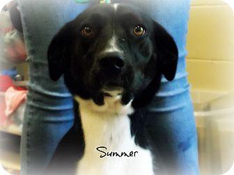 Labrador Retriever Mix Dog for adoption in Defiance, Ohio - Summer