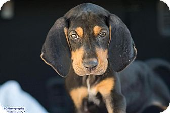 Coonhound Mix Puppy for adoption in Fort Atkinson, Wisconsin - Squishy