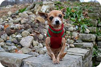 Chihuahua Dog for adoption in Pittsburgh, Pennsylvania - Pepe#2