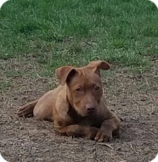 Pit Bull Terrier Mix Puppy for adoption in ST LOUIS, Missouri - Jagg