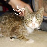 Domestic Shorthair Kitten for adoption in York, Pennsylvania - Sage