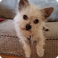 Adopt A Pet :: Scotty - San Dimas, CA