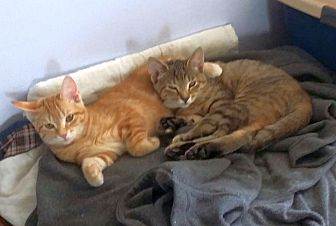 Domestic Shorthair Kitten for adoption in Knoxville, Tennessee - Sweet One & Spunky