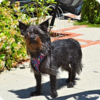Cairn Terrier Mix Dog for adoption in Simi Valley, California - Skittles