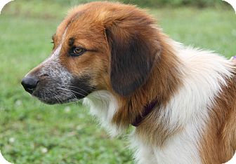 Collie Mix Dog for adoption in Marietta, Ohio - Theo (Neutered)