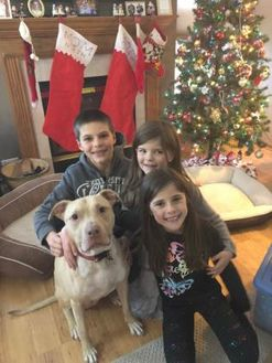 American Pit Bull Terrier/Labrador Retriever Mix Dog for adoption in Lowell, Indiana - Amara