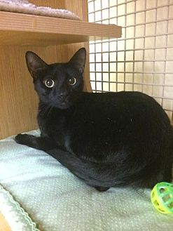 Domestic Shorthair Cat for adoption in Spring, Texas - George