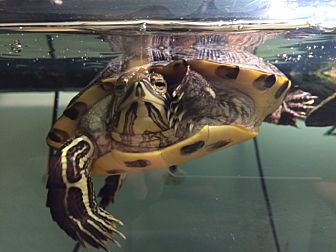 Turtle - Water for adoption in Medfield, Massachusetts - Wally