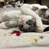 Adopt A Pet :: Hiccup - Park Falls, WI