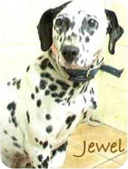 Dalmatian Dog for adoption in Mandeville Canyon, California - Jewel