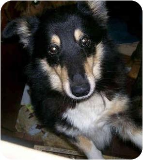 Sheltie, Shetland Sheepdog/Shepherd (Unknown Type) Mix Dog for adoption in Latrobe, Pennsylvania - Riley