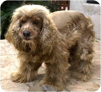 Cocker Spaniel Dog for adoption in Homestead, Florida - Coffee