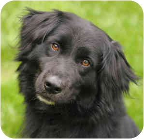 Flat-Coated Retriever/Spaniel (Unknown Type) Mix Dog for adoption in Chicago, Illinois - Barry