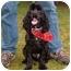 Photo 1 - Cocker Spaniel Dog for adoption in Tacoma, Washington - Shadow